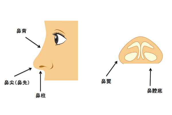 鼻背、鼻尖(鼻先)、鼻柱、鼻翼、鼻腔底